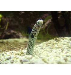 Garden Eel. Taenioconger hassi.