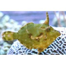 Acreichthys tomentosus M. Единорог-акреихт M.