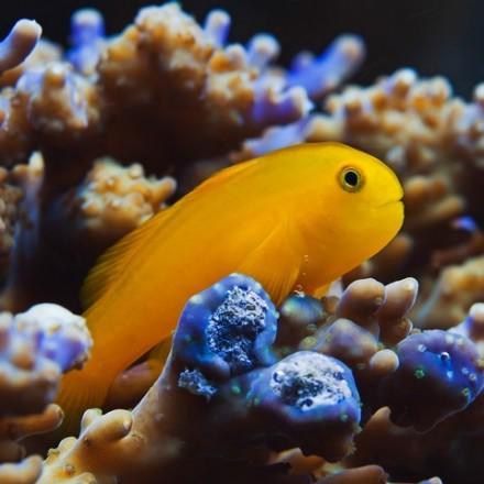 Gobiodon okinawae. Okinawa goby. Yellow clown goby.