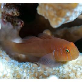 Gobiodon quinquestrigatus. Five-lined Coral Goby.