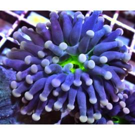 Aussie Purple Torch WYSIWYG.