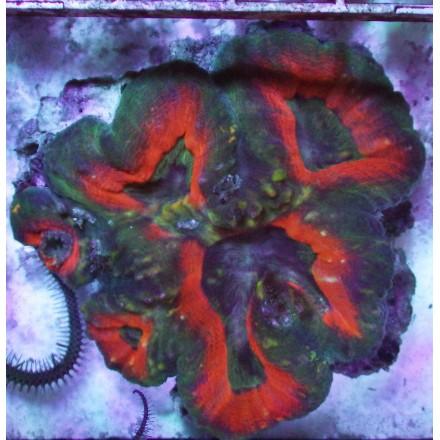 Lobophyllia Ultra 5x5. WYSIWYG.
