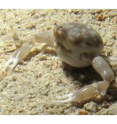 Leucosia craniolaris. Размер около 8 см.