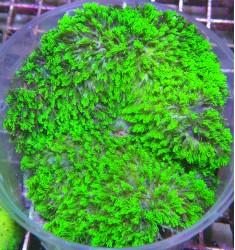 Heterodactyla hemprichii. 10+см. WYSIWYG.