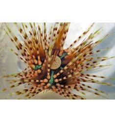 Echinothrix calamaris.