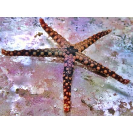 Fromia monilis. Звезда красная.