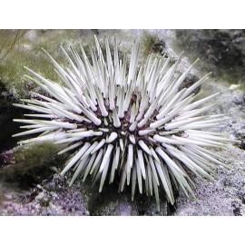 Echinometra mathaei.