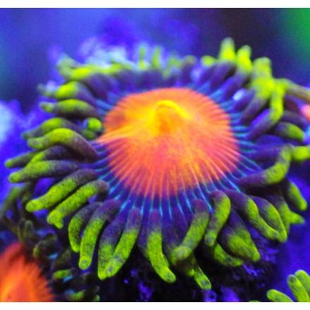 Зоантусы Fiji Dragon Eye Zoas. WYSIWYG. Фиджи.