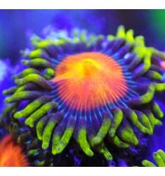 Зоантусы Fiji Dragon Eye. WYSIWYG.