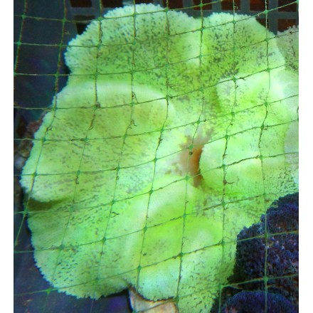 Ковровая актиния желтая. WYSIWYG.