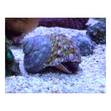 Turban, Top Shell Snail, Turbo fluctuosa.