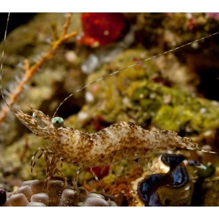Поедатель бриопсиса. Heteropenaeus longimanus.