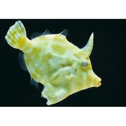 Acreichthys tomentosus S. Единорог-акреихт S.