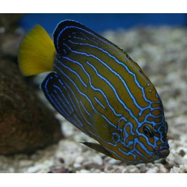 Chaetodontoplus Septentrionalis, Blue line angel.
