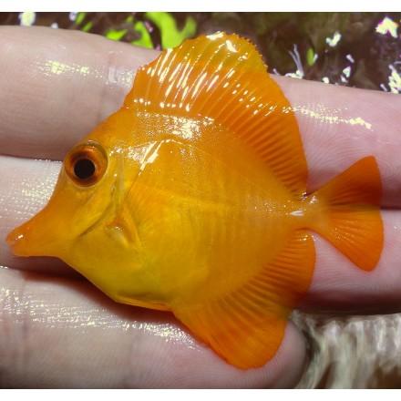 Зебрасома желтая S, Zebrasoma flavescens S