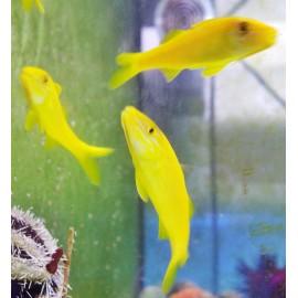 Parupeneus cydotos-Yellowsaddle Goatfish. Барабуля желтая.