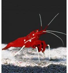 Креветка кровавая M. Lysmata debelius M.