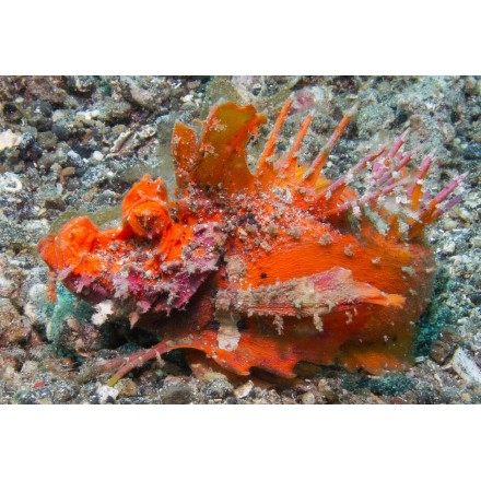 Inimicus. Goblin fish. WYSIWYG. Инимикус. Рыба гоблин.