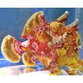 Antennarius maculatus. WYSIWYG. Удильщик. Рыба-жаба.