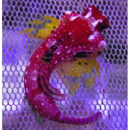 Ruby red dragonet. Synchiropus moyeri.