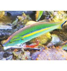 Pseudojuloides cerasinus. Губан короткохвостый многоцветный.