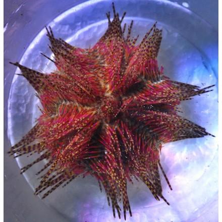 Strongylocentrotus franciscanus.