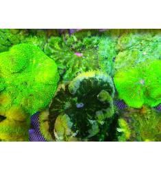 Stichodactyla Tapetum. Актиния мини-макс.