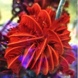Морская лилия 10-15см.