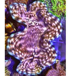 Tridacna Squamosa, WYSIWYG