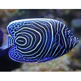 Emperor Angelfish. Ангел императорский.