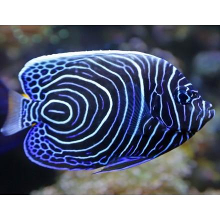 Emperor Angelfish. Ангел императорский. 3см.