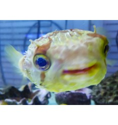 Diodon hystrix, Рыба-еж L.