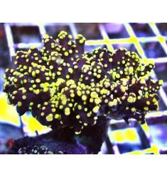 Gold Yaeyamaensis Frogspawn