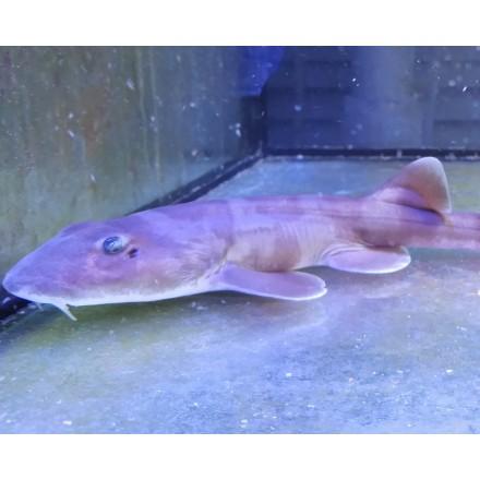 Акула кошачья 30см.