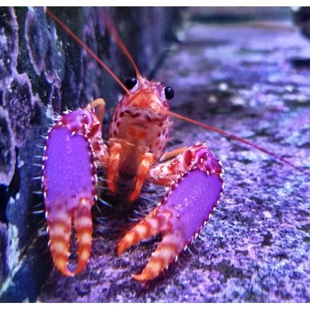 Омар рифовый M.