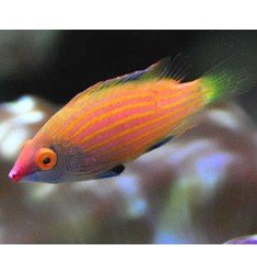 Pink-streaked Pygmy Wrasse