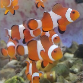 Amphiprion ocellaris M.