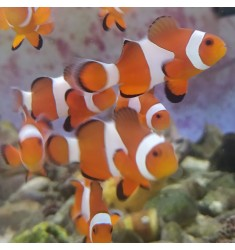 Amphiprion ocellaris S.