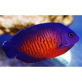 Centropyge bispinosus M.