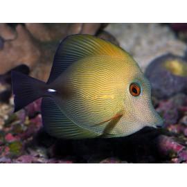 Zebrasoma Scopas M. Зебрасома Скопас M.