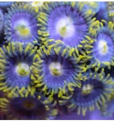 Зоантусы Blue Daisys. 15п.