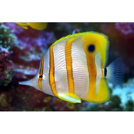 Cooperband Butterflyfish. Chelmon Rostratus. Хелмон носатый.