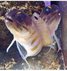 Opistognathus randalli.