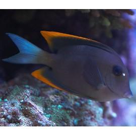 Ctenochaetus tominiensis M.