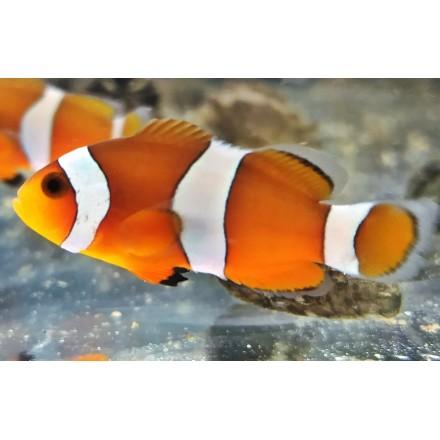 Orange Ocellaris. 3-4см.