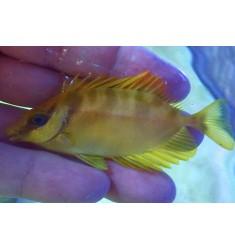Siganus corallinus S.