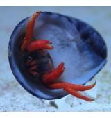 Scarlet reef hermit crab.