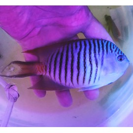 Genicanthus melanospilos.