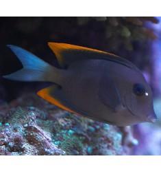 Ctenochaetus tominiensis. S. 4-5см.