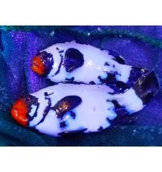 Frozen frostbite clownfish.